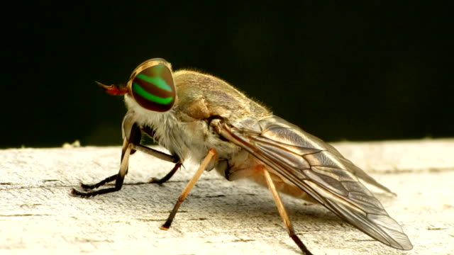 Female Striped Horse Fly video