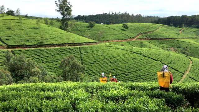 Female Workers in Tea Plantations of Sri Lanka video