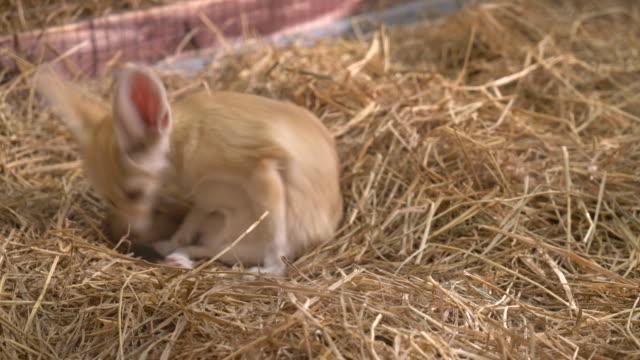 Fennec fox or Desert fox video