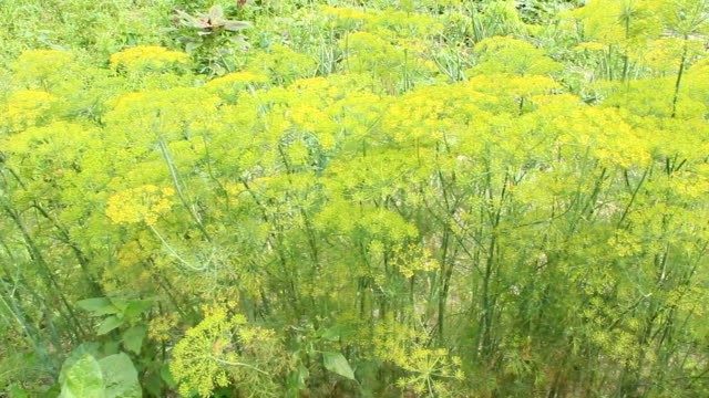 fennel grows on the vegetable garden video