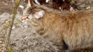 Feral Cat prowling closeup video