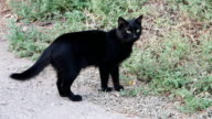 Feral Cat standing on street ready to go in green grass for prey video