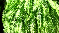 Fern in hanging basket blowing in breeze. Summer plant. video