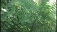 (HD1080) Fern Leaves Closeup in Garden video