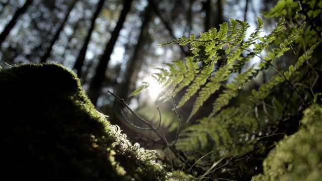 Fern Plants In Pine Tree Forest At Sunset video