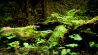 Ferns and other undergrowth vegetating near the old stump in the evergreen forest video