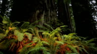 Ferns and Redwoods video