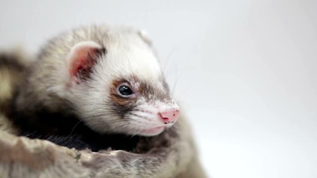 Ferret is resting video