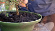 Fertilizing on the bonsai pots,AF point selection video