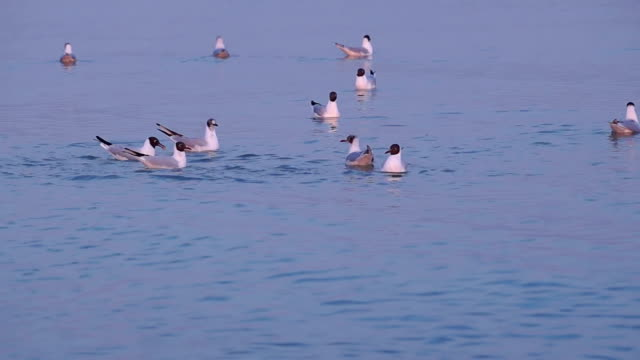 Few Gulls Float in Calm Sea Water at Sunset video