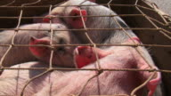 few pigs in a cage for sale video