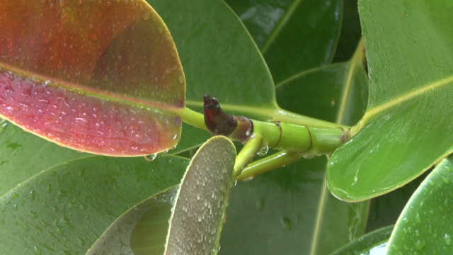 HD: Ficus leaves (Raining) video