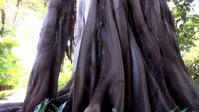 Ficus with banyan roots video