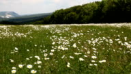 field camomiles mountains video