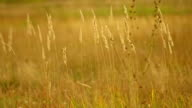 field. grass. wind. fall. the yellow. great video