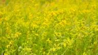 Field in beautiful yellow flowers. video