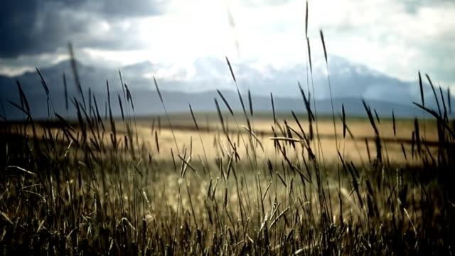 Field in wind video