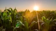 MS DS Field Of A Corn video