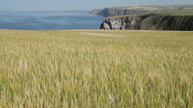 Field of Barley on the Scottish Coast video