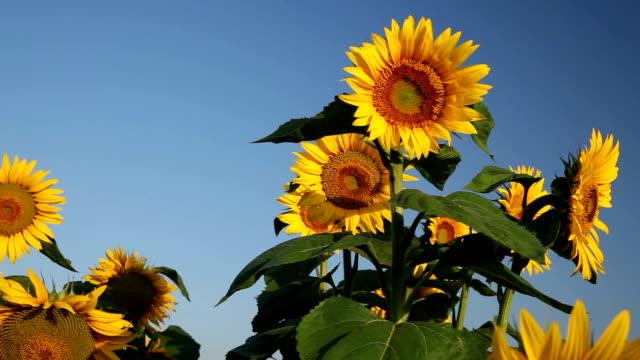 Field of Beautiful Sunflowers video