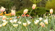 field of blooming different color tulips - slider dolly shot video