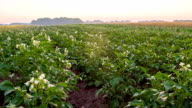 WS DS Field Of Blooming Potato Plants video