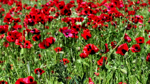 Field of close up moving blossoming red poppies video