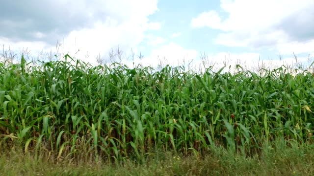 field of corn along the road video