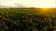 AERIAL Field Of Corn At Sunset video