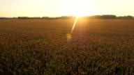 AERIAL Field Of Corn In The Sun video