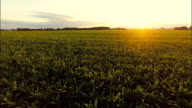 AERIAL Field Of Corn Plants At Sunset video