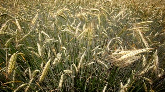 field of cornflower video