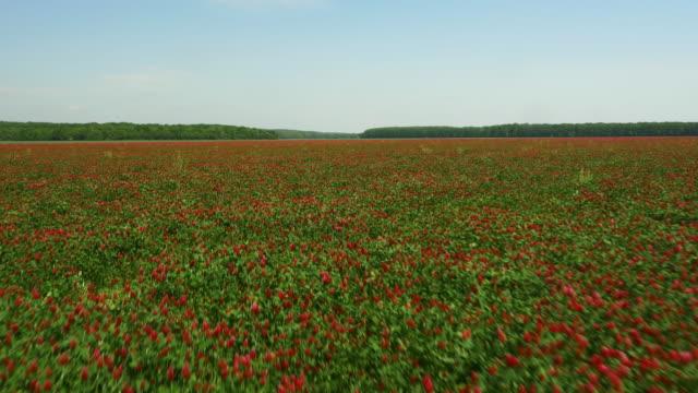 AERIAL Field of crimson clover video
