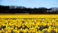 Field of daffodil flowers video