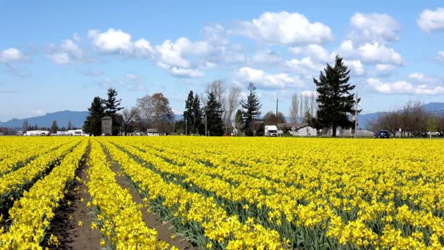 Field of daffodils video