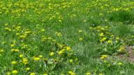 Field of Dandelions in Park video