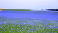 Field of flax blooming. video