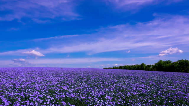 A Field of Flowering Flax video