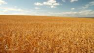 Field of golden barley in wind video