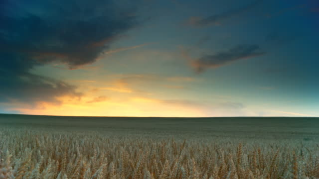 HD DOLLY: Field Of Golden Wheat At Dusk video