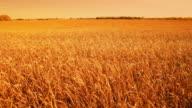 Field of golden wheat video