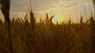 CS Field of golden wheat video