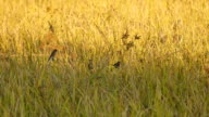 field of grass and flying birds video