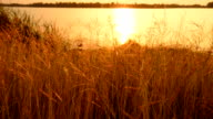 Field of grass during sunset video