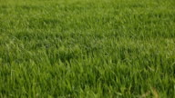 Field of green wheat leaves video