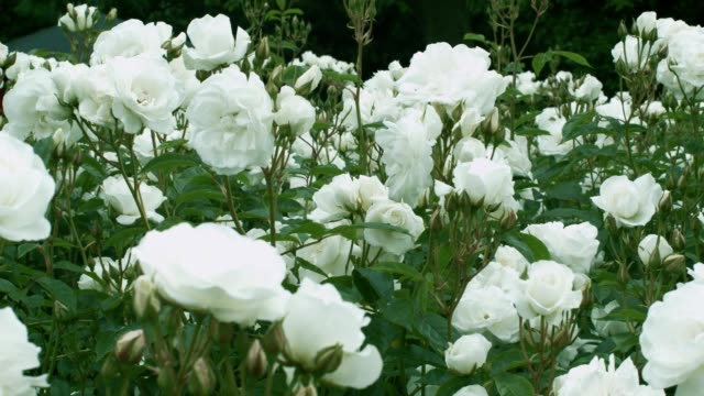 A field of Iceberg Roses with flat white, fragrant blooms. video