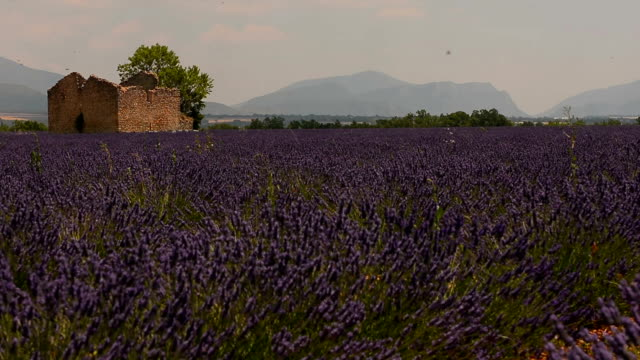 Field of lavender flowing in the wind and ruined old house video
