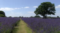 Field of Lavender video
