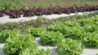 DS Field of lettuce video