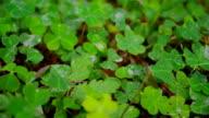 A Field Of Lucky Green Clovers. video